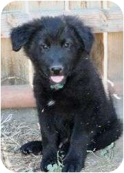 Bernese Mountain Dog/Labrador Retriever Mix Puppy for adoption in Seattle, Washington - Pooh Bear pup Grizz