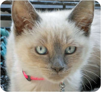 Balinese Kitten for adoption in Mandeville Canyon, California - Misty