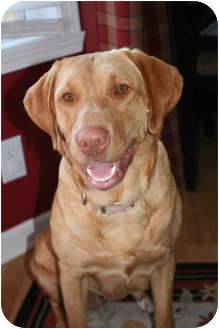 Labrador Retriever Dog for adoption in Lewisville, Indiana - Sophia