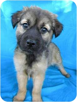 Shepherd (Unknown Type)/Golden Retriever Mix Puppy for adoption in Norwich, Connecticut - Melody
