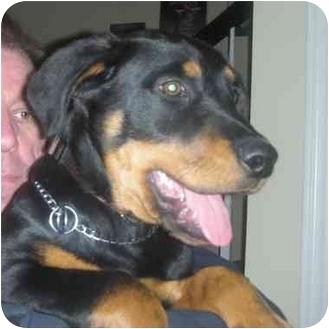 Rottweiler Mix Puppy for adoption in Westford, Massachusetts - Diesel