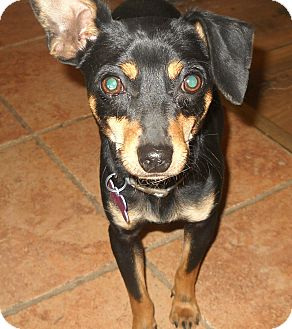 Miniature Pinscher/Chihuahua Mix Dog for adoption in High View, West Virginia - Pete