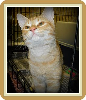 Domestic Shorthair Cat for adoption in Medford, Wisconsin - ZIPPO