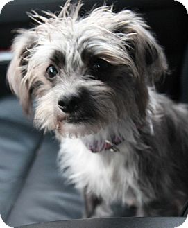 Terrier (Unknown Type, Small)/Dachshund Mix Dog for adoption in Yuba City, California - Gracie