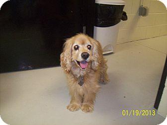 Cocker Spaniel Dog for adoption in Kannapolis, North Carolina - Scooter  -Adopted!