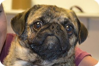 Pug Mix Dog for adoption in Elyria, Ohio - Chico