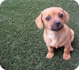 Dachshund Mix Puppy for adoption in Tustin, California - Harvest