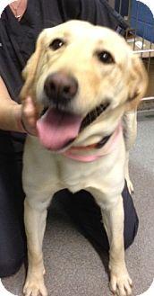 Labrador Retriever Mix Dog for adoption in Richmond, Virginia - Sadie