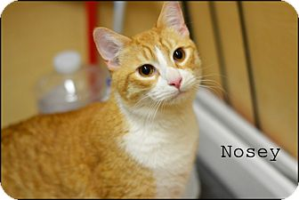 Domestic Shorthair Cat for adoption in Arlington/Ft Worth, Texas - Nosey