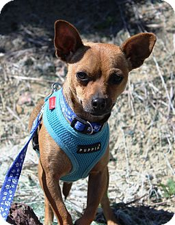 Chihuahua Mix Puppy for adoption in Westminster, Colorado - Quiran