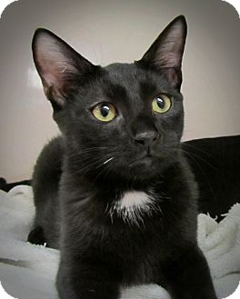 Domestic Shorthair Kitten for adoption in Seminole, Florida - Frank
