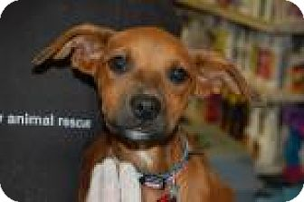 Shepherd (Unknown Type) Mix Puppy for adoption in Brooklyn, New York - Malley
