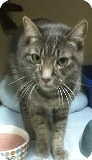 Domestic Shorthair Cat for adoption in Westminster, California - Posey