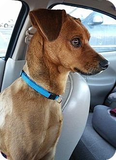 Dachshund/Terrier (Unknown Type, Small) Mix Dog for adoption in Livonia, Michigan - Rigley