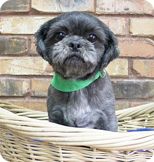 Shih Tzu Mix Dog for adoption in Benbrook, Texas - Cass