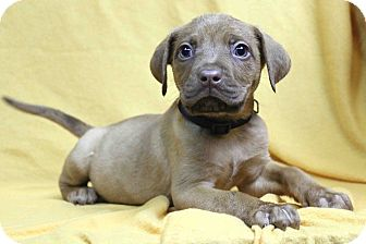 Pit Bull Terrier Mix Puppy for adoption in Westminster, Colorado - Binki