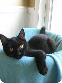 Domestic Shorthair Kitten for adoption in Bloomsburg, Pennsylvania - Kovu