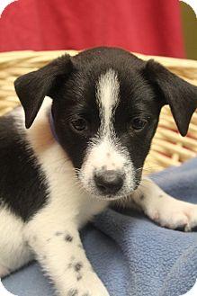 Labrador Retriever Mix Puppy for adoption in Waldorf, Maryland - Rocky