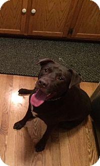 Labrador Retriever Dog for adoption in Blue Bell, Pennsylvania - Tucker