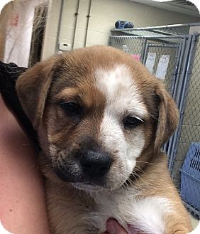 Australian Shepherd Mix Puppy for adoption in Greensburg, Pennsylvania - Miss Piggy