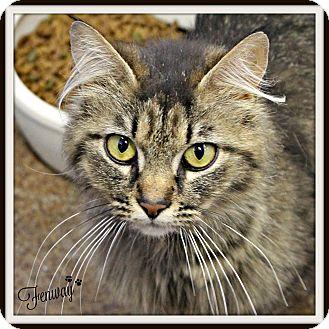 Domestic Mediumhair Cat for adoption in Dunkirk, New York - Fenway