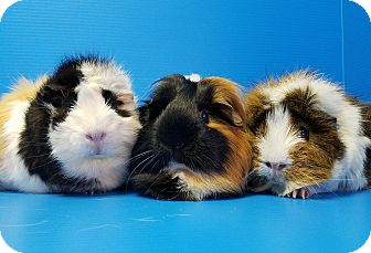 Guinea Pig for adoption in Lewisville, Texas - Tammie, McKenna and Karli