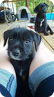 Yorkie, Yorkshire Terrier/Labrador Retriever Mix Puppy for adoption in Brunswick, Maine - Abbee