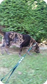 Australian Shepherd/Husky Mix Dog for adoption in Staunton, Virginia - Sunshine