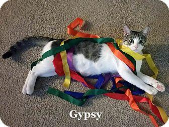 Domestic Shorthair Cat for adoption in Bentonville, Arkansas - Gypsy