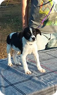 Fox Terrier (Wirehaired) Mix Puppy for adoption in Carthage, North Carolina - Vincent Price