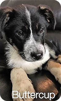 Australian Shepherd Mix Puppy for adoption in Colmar, Pennsylvania - Buttercup