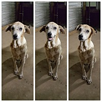 Labrador Retriever/Anatolian Shepherd Mix Dog for adoption in Pflugerville, Texas - Lady