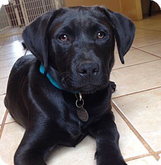 Labrador Retriever/Mixed Breed (Large) Mix Puppy for adoption in Chattanooga, Tennessee - Bert