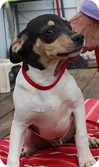 Beagle Mix Puppy for adoption in Columbia, Tennessee - Alvin