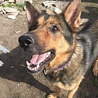 Adopt A Pet :: Roxy - norridge, IL
