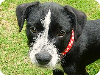 Terrier (Unknown Type, Medium)/Border Collie Mix Puppy for adoption in Alpharetta, Georgia - Kael