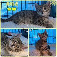 Adopt A Pet :: Axle - Jeffersonville, IN