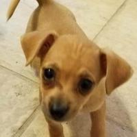 Chihuahua/Dachshund Mix Dog for adoption in Von Ormy, Texas - Willow AH