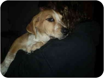 Foxhound/Bernese Mountain Dog Mix Puppy for adoption in Cincinnati, Ohio - Sable