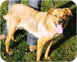 Golden Retriever/Labrador Retriever Mix Dog for adoption in Osseo, Minnesota - Daisy