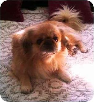 Pekingese Dog for adoption in Richmond, Virginia - Peppie Adopted !!!