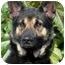 Photo 1 - German Shepherd Dog Mix Dog for adoption in Los Angeles, California - Carrington von Malibu