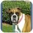 Photo 1 - Boxer Dog for adoption in North Palm Beach, Florida - Dewey