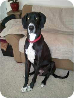 Great Dane Dog for adoption in Arvada, Colorado - Charlotte