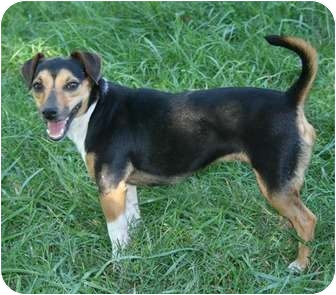Jack Russell Terrier Mix Dog for adoption in Hagerstown, Maryland - Lavender (reduced fee $250)
