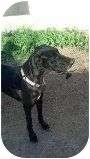 Great Dane Dog for adoption in Phoenix, Arizona - Liza