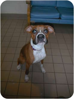 Boxer Puppy for adoption in Jackson, Michigan - Prince