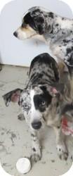 Australian Shepherd/Catahoula Leopard Dog Mix Dog for adoption in Overland Park, Kansas - Molly