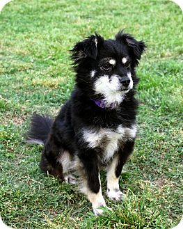 Pomeranian/Schnauzer (Miniature) Mix Dog for adoption in Lodi, California - Lacy