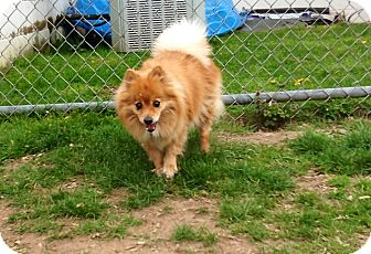 Pomeranian Mix Dog for adoption in New Milford, Connecticut - Nancy